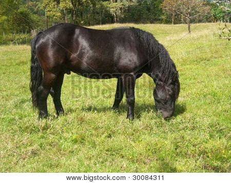 cavalo Friesian