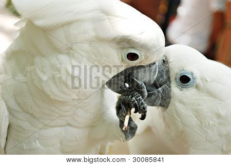 A Couple of White Cockatoo Parrots