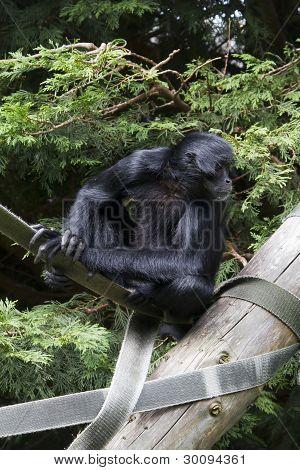 Black Spider Monkey ( Ateles Paniscus)