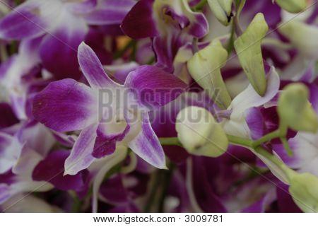 Orchid Flower Phalaenopsis