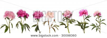 Set Of Different Color Peonies