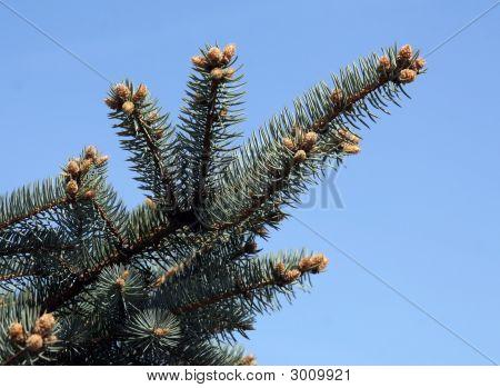 Fur-Tree Branch