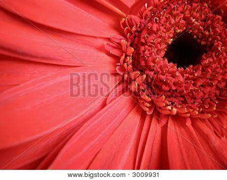 Red Gerbera