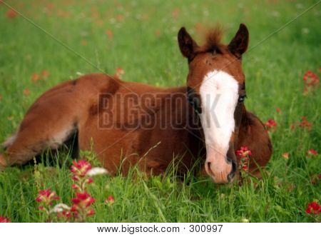 Colt Laying In Wildflowers