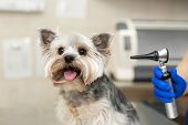 Beautiful Vet Doctor Examines A Small Cute Dog Breed Yorkshire Terrier With The Help Of An Otoscope  poster