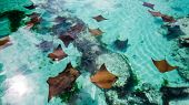 A Lot Of Young Sting Rays Swimming Slowly In The Warm Water Of The Bahamas. poster