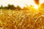 Ears of golden wheat close up. Beautiful nature sunset field background. Rural scenery of meadow un poster