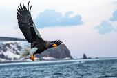Stellers Sea Eagle  In Flight, Eagle With A Fish Which Has Been Just Plucked From The Water In Hokk poster