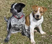 stock photo of blue heeler  - Texas blue and red heeler pups  - JPG