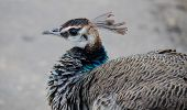 picture of peahen  - Indian Peahen in Keoladeo National Park - JPG