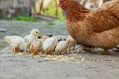 Close Up Yellow Chicks On The Floor , Beautiful Yellow Little Chickens, Group Of Yellow Chicks poster