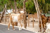 Brown And White Goats In The Farm. The  Long Hairy Goat Is Looking Away poster