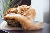 Beautiful Ginger Long Hair Mainecoon Cat Lying In A Bamboo Vase On Wooden Table poster