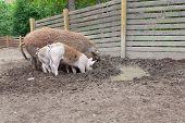 Pigs Digging In Outdoor Enclosure At Farm poster
