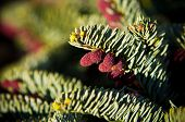 Evergreen Plant Blooming With Red Pines. Blue Spruce (picea Pungens) poster