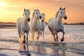 White Horses Are Galoping In The Water  All Over The Sea In Camargue, France. poster