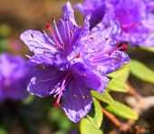 Showy And Bright Rhododendron Ramapo Flowers Close Up. Evergreen Shrub. poster