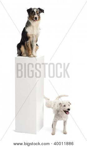 Parson Russell terrier urinating on a pedestal with an Australian Shepherd sitting on the top of it against white background