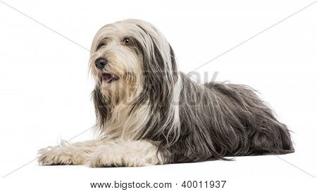 Bearded Collie, 5 years old, lying against white background