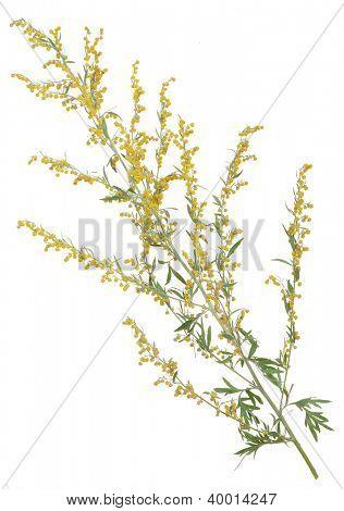 Medicinal plant. Sagebrush