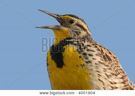 Bird (Meadowlark) Singing
