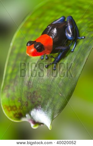 poster of poison dart frog Peru Amazon rain forest animal tropical exotic amphibian with bright red warning colors sitting on leaf in jungle Dendrobates Ranitomeya benedicta