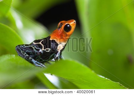 fantastic poison dart frog of tropical Amazon rainforest Peru Ranitomeya fastastica or dendrobates fantasticus exotic amphibian and animal with bright warning colors