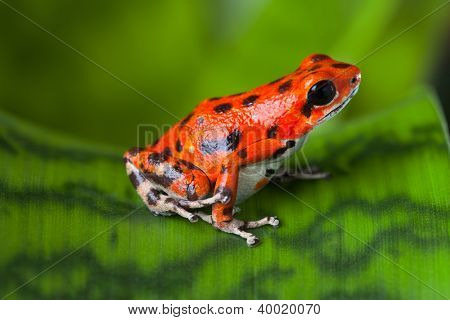 red frog on leaf in Panama rain forest Bocas del Toro, poison dart frog oophaga pumilio exotic tropical amphibian and poisonous animal with warning colors