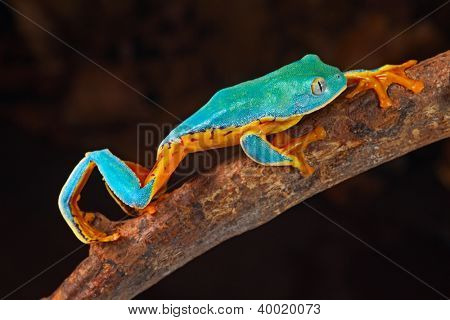 tree frog climbing branch tropical treefrog in Amazon rain forest Cruziohyla or Phyllomedusa calcarifer lives in exotic rainforest of Colombia, Costa Rica, Ecuador, Nicaragua and Panama
