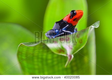 poison arrow frog of Amazon rain forest Peru tropical exotic amphibian of rainforest small and cute animal with bright red warning colors