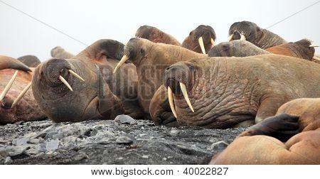 Walrus rookery