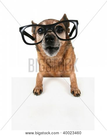 a hipster chihuahua with glasses on
