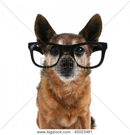 a chihuahua with glasses on