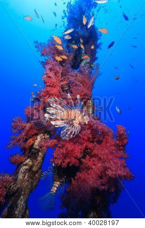 Lionfish Swimming Around Vivid Red Soft Corals Growing On An Old Metal Chain