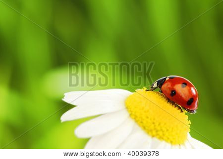 big red ladybug on camomile grass background