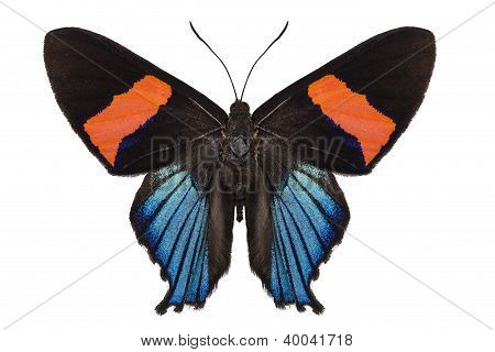 Butterfly species Ancyluris miranda