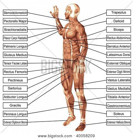 High resolution concept or conceptual 3D human anatomy and muscle isolated on white background as metaphor to body,tendon,spine,fit,builder,strong,biological,skinless, shape,posture,health or medical