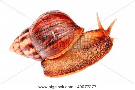 Gastropod  Snail  In Isolated On White Background