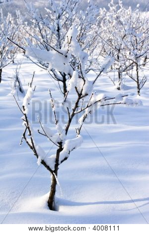 Fruit Orchard In Winter