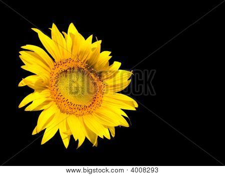 Sunflower Isolated On Black