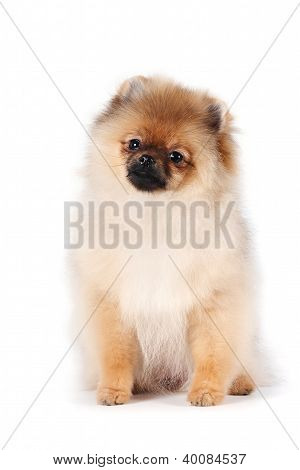 Puppy Of A Spitz-dog