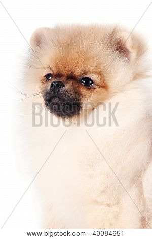 Portrait Of A Puppy Of A Spitz-dog