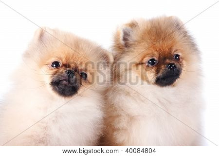 Portrait Of Two Puppies Of A Spitz-dog