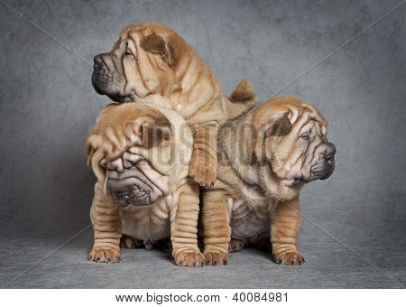Sharpei Puppy Dogs