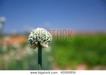 Closeup Of Onion Flower With Seeds Over Blue And Green Background