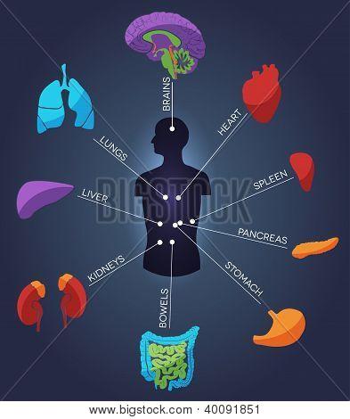 Vários órgãos humanos