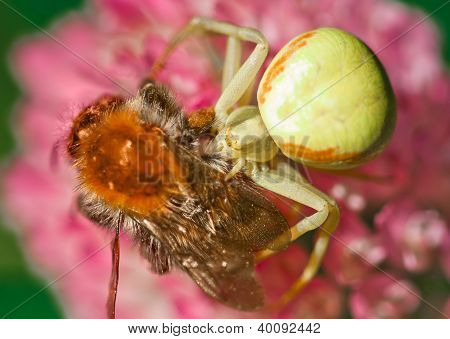 Goldenrod Crab Spider Seizing Prey
