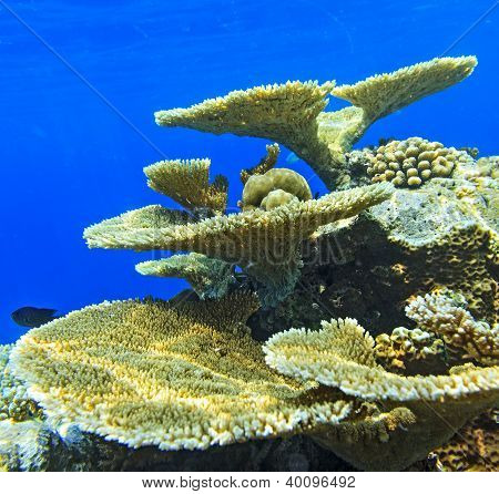 Big Coral And Small Fishes