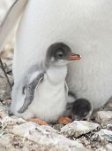 Gentoo Penguin Chicks In The Nest.