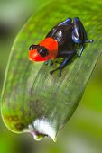 poison dart frog Peru Amazon rain forest animal tropical exotic amphibian with bright red warning co
